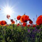 poppies-1031588_1920