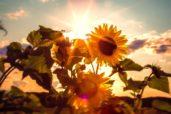 sun-flower-591076_1920