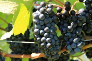 grapes-1074529_1920